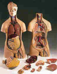 insan vücudu küçük boy organlar parça parça sökülüp takılabilir